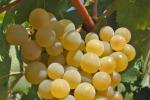 Dai semi dell'uva cure più efficaci contro i tumori, lo studio per la lotta al mesotelioma