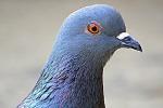 I piccioni sono multitasking, molto più dell'uomo (fonte: Donny Leonardi, Flickr)