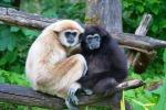 Una coppia di Gibboni. Si calcola che gli antenati comuni di uomimi e scimmie antropomorfe abbiano avuto le loro dimensioni (fonte: MatthiasKabel)