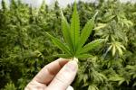 Cannabis domestica, sì della Cassazione ma può fumarla solo il coltivatore