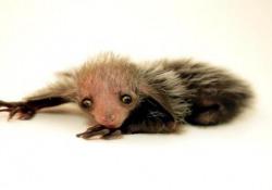"""Nello zoo americano è nato un aye-aye del Madagascar, primate notturno che porterebbe con sé """"presagi di morte"""""""