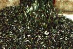 Olio: in Toscana ottima qualità ma meno 30% olive