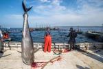 Quote tonno pinna blu restano invariate per Giappone