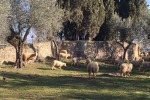 Lupi: attacco in azienda del Senese, 70 pecore colpite