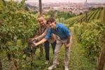 Vendemmia in città a Torino, si raccolgono uve della Regina