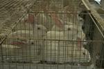 Allevamento: Efsa, ampliare gabbie convenzionali per i conigli