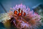 Un pesce pagliaccio nascosto in un anemone di mare (fonte: pixabay)