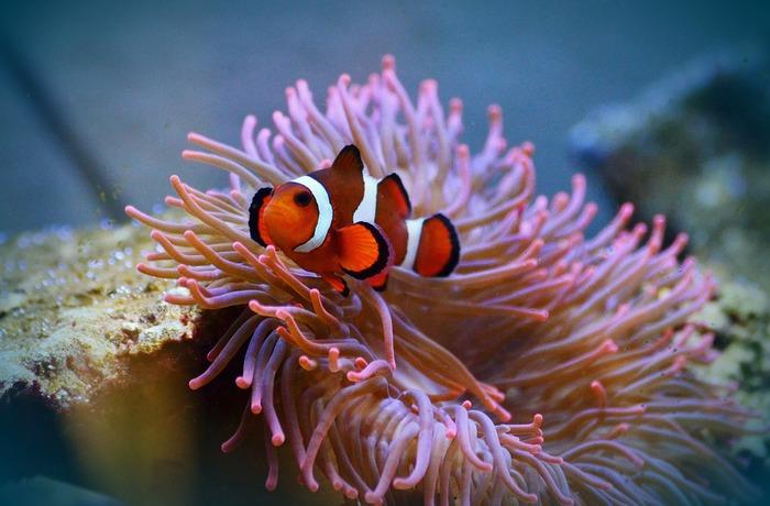 Pesce Pagliaccio E Anemone.Nemo Troppo Famoso Pesci Pagliaccio A Rischio Gazzetta Del Sud