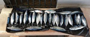 Pesca illegale a Messina, sequestrati 27 esemplari di tonno rosso