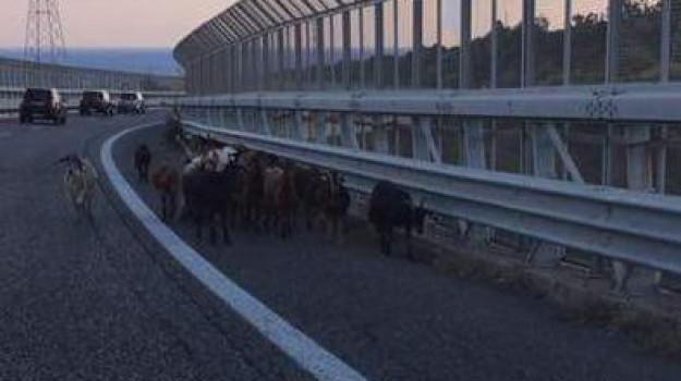 capre, capre tangenziale, gregge tangenziale, pecore tangenziale, Messina, Sicilia, Cronaca
