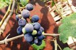 Rubati 600 kg uva passa, salta la produzione del 'Bukkuram' (fonte: pixabay)