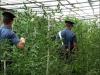 2 nabbed for 1-tonne marijuana plot