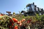Il pomodoro italiano sbarca negli Usa: export +5,4%