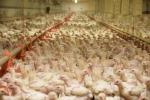Allevamento intensivo di polli in Italia