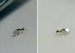 L'insetto fatica e quasi perde il suo bottino prezioso