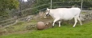Mucca pazza, dopo dieci anni un nuovo caso in Scozia