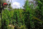 Cinque coltivazioni di canapa indiana scoperte a Fabrizia e Nardodipace: distrutte 1.350 piante