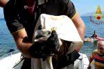 Sant'Agata di Militello, salvato un grifone finito in mare