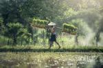 Cambogia. Un contadino trasporta piante di riso