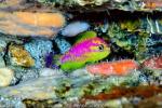 La nuova specie di pesci, Tosanoides aphrodite, scoperta nella 'zona del crepuscolo' della barriera corallina (fonte: Luiz Rocha © 2018 California Academy of Sciences)