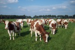 Mucca Pazza, nuovo caso in un allevamento in Scozia (fonte:Pixabay)