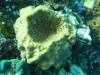 Una moderna sougna della specie Rhabdastrella globostellata, che produce le stesse sostanze trovate in rocce molto antiche (fonte: Paco Cárdenas)