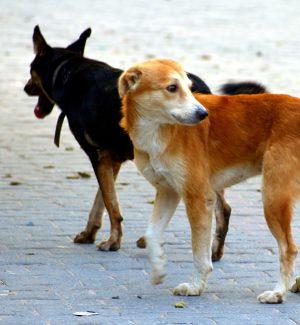 Cani randagi sul territorio di Corigliano Rossano, a rischio il riciclo dei rifiuti