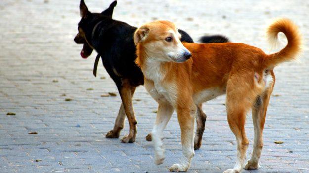 aggressione a assessore comunale, cani randagi, Pino Munno, Cosenza, Calabria, Cronaca