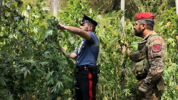 arresto 24enne reggio, droga, droga reggio, piantagione San Procopio, Giovanni Siviglia, Reggio, Calabria, Cronaca