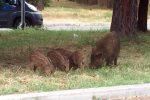 Cinghiali in Calabria, Santelli firma l'ordinanza: consentiti spostamenti per caccia
