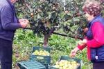 Mele rosa dei Sibillini, buona raccolta, ottima qualità