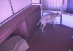 Il cane evade dalla struttura non prima di aver liberato i suoi amici a quattro zampe