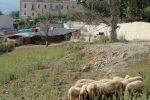 Barcellona, pecore al pascolo nell'area riqualificata: le immagini