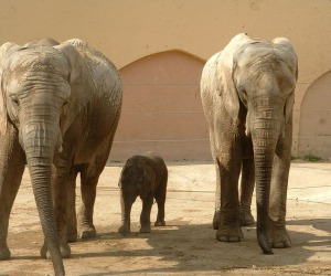 Elefanti africani (fonte: Vasco Roxo, Wikipedia)