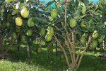 Il cedro, un tesoro calabrese: a Roma un convegno per la tutela del frutto