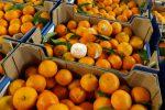 Clementine, è crisi nera: siccità e piogge annientano la produzione, danni per 70 mln