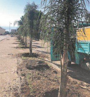 Verde pubblico: il Comune di Palmi pianta palme, pini e cipressi
