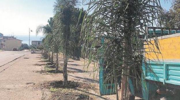 alberi piantati palmi, palmi, Piana Palmi Multiservizi, piantumazioni palmi, verde pubblico Palmi, Giuseppe Ranuccio, Reggio, Calabria, Cronaca