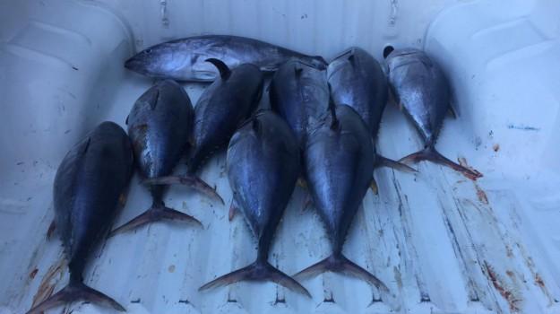 sequestro tonno crotone, sequestro tonno rosso, tonno rosso, tonno rosso crotone, Catanzaro, Calabria, Cronaca