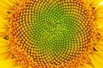 Nelle piante fiori e petali sono disposti secondo sequenze che rispecchiano le serie di numeri di Fibonacci (fonte: Ginette, Flickr)