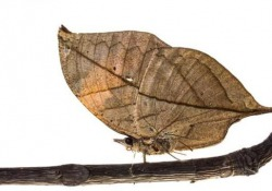 La farfalla foglia indiana riesce a mimetizzarsi perfettamente con la natura circostante in questa stagione autunnale