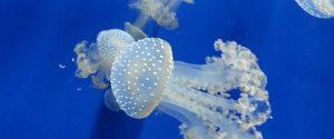Meduse nell'acquario di Genova - foto pixbay
