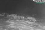 Branco di lupi ripreso sull'Altopiano di Asiago, eccezionale video del biologo Enrico Ferraro