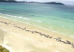 Almeno 145 balene globicefale sono morte nel fine settimana su una spiaggia dell'isola di Stewart, in Nuova Zelanda, dopo essersi arenate