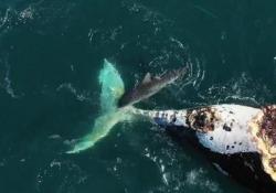 I predatori impegnati a divorare la carcassa di una balena nelle acque cristalline al largo di Coolum Beach, in Australia