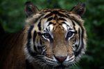 Covid, una tigre e due leoni contagiati in uno zoo in Svezia