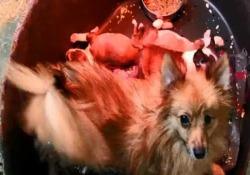 Intervento della polizia a Udine: la banda operava tra Reggio Emilia, Bergamo e Como e importava gli animali dall'Est Europa