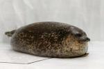 Yuki, la foca paffuta star dell'acquario in Giappone
