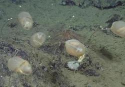 Gli scienziati del Monterey Bay Aquarium Research Institute hanno scoperto una nuova specie delle profondità marine