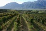 Vigne nel territorio Sannio Falanghina (fonte: Gennaro Sebastianelli/gaiastudio.tv)